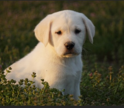 Montrose CO White Lab Breeder