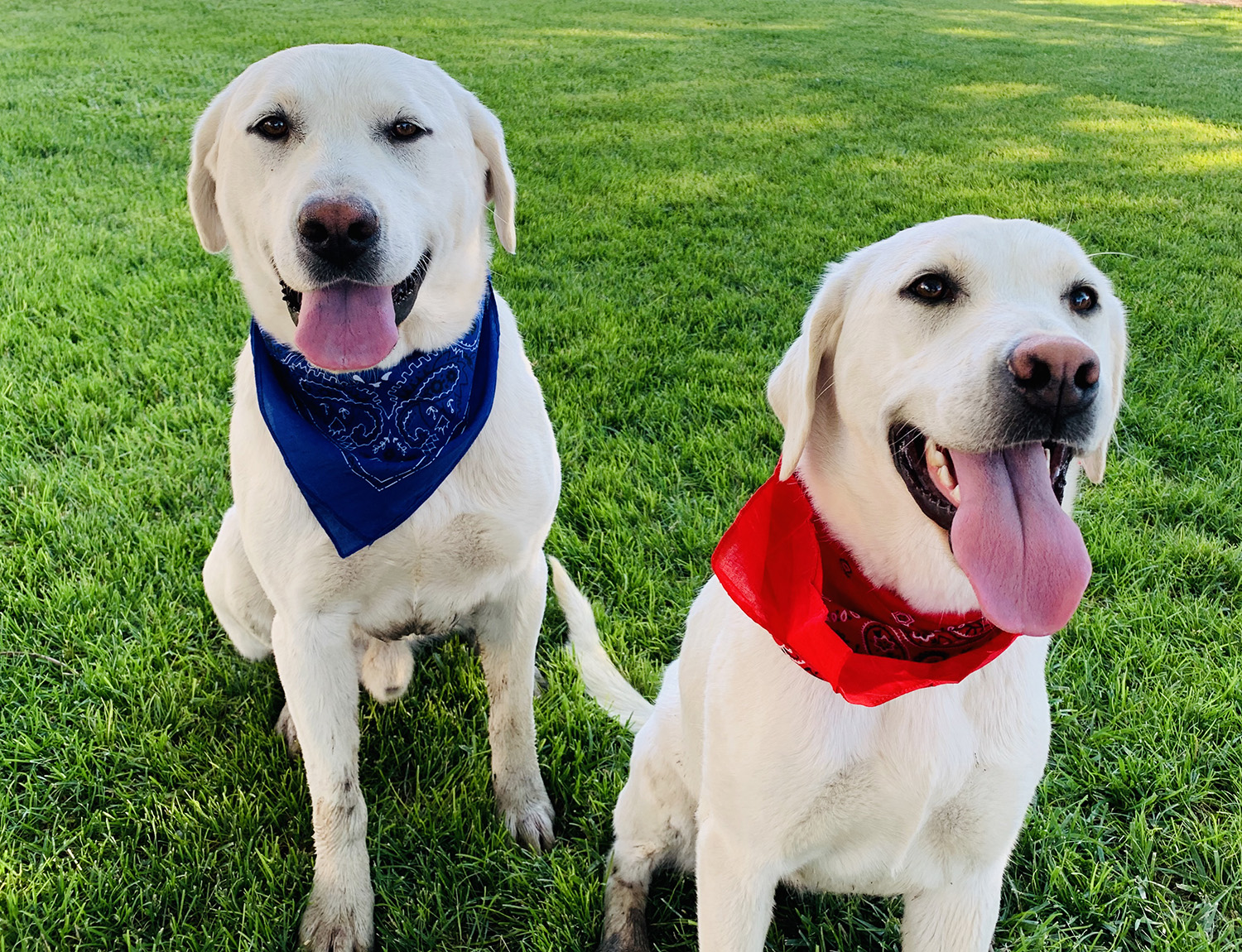 lace and polar - white labs
