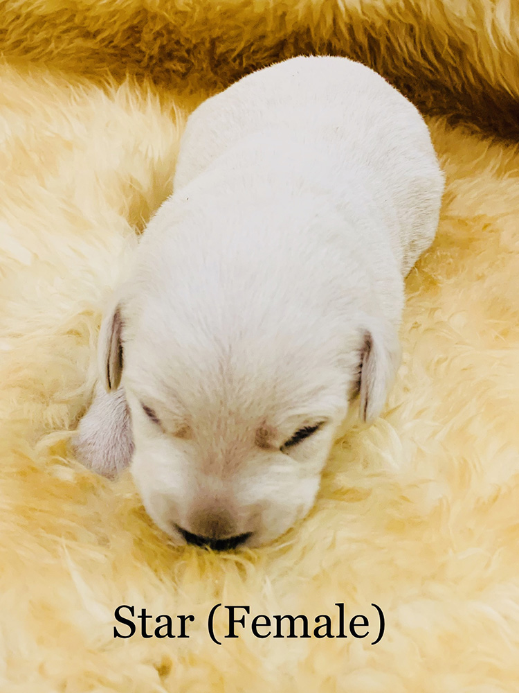 Star - White Lab Puppy for Sale