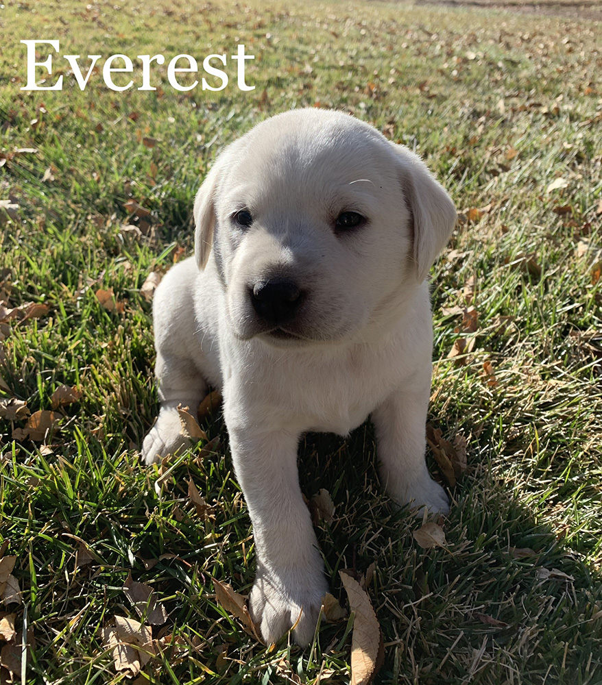 Everest - White Lab Puppy for Sale