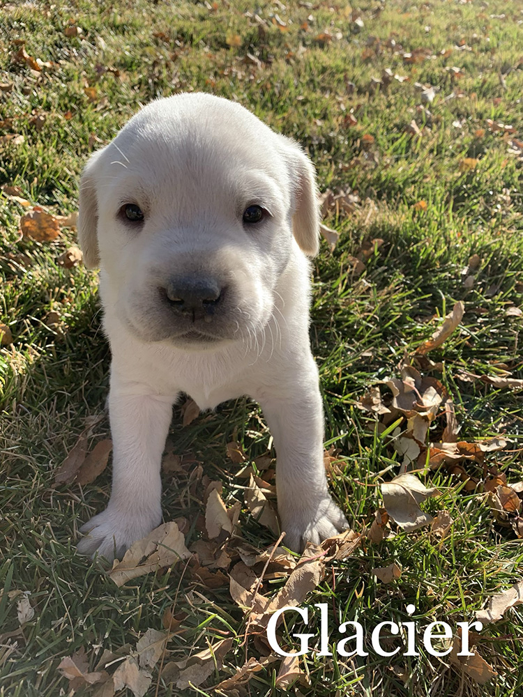 Glacier - White Lab Puppy for Sale