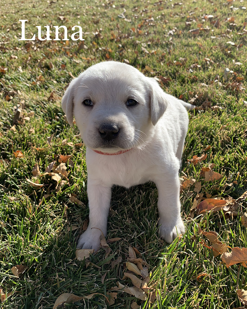 Luna - White Lab Puppy for Sale