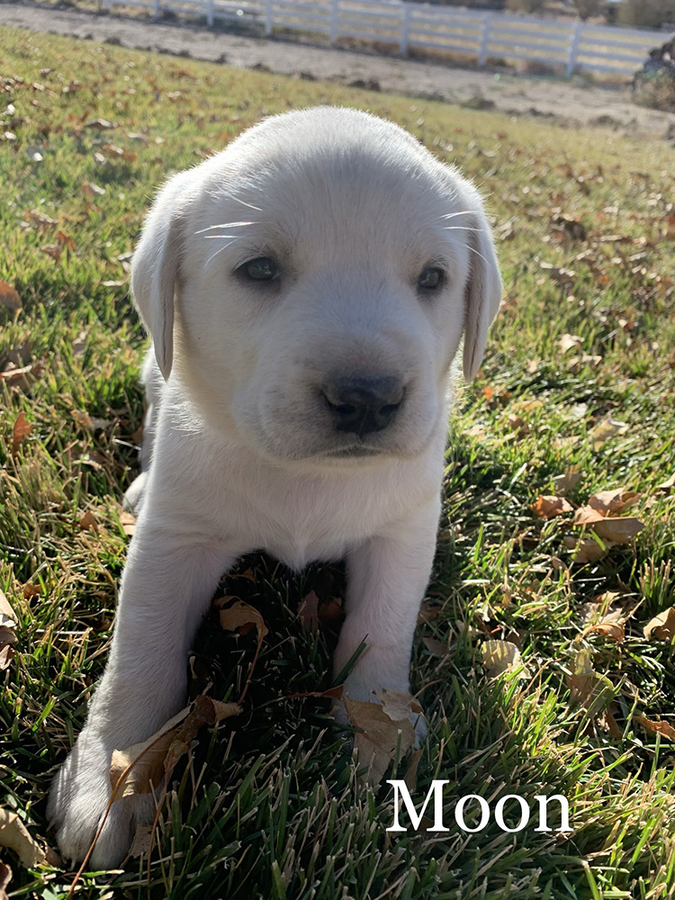 Moon - White Lab Puppy for Sale