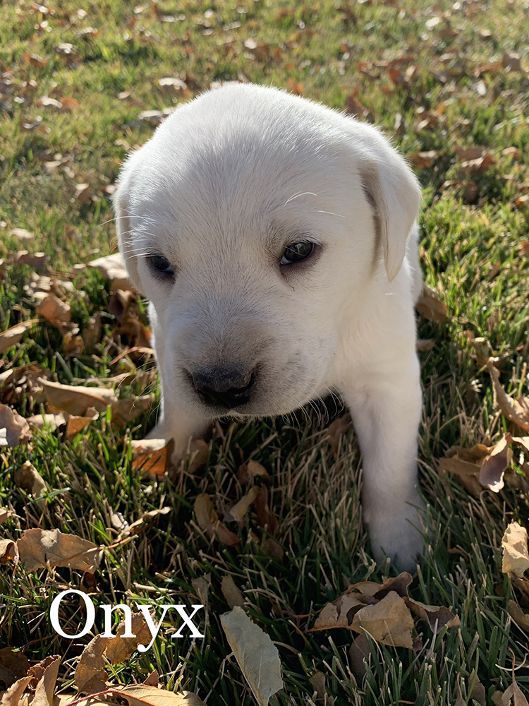 Onyx - White Lab Puppy for Sale