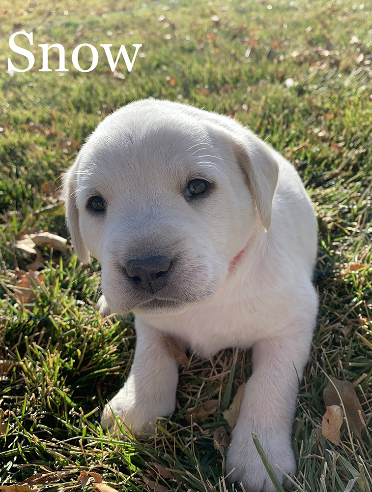 Snow - White Lab Puppy for Sale