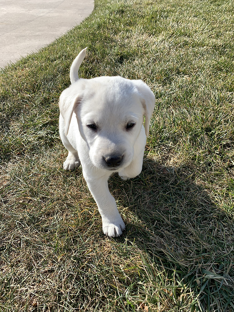 White Lab Puppy Playing