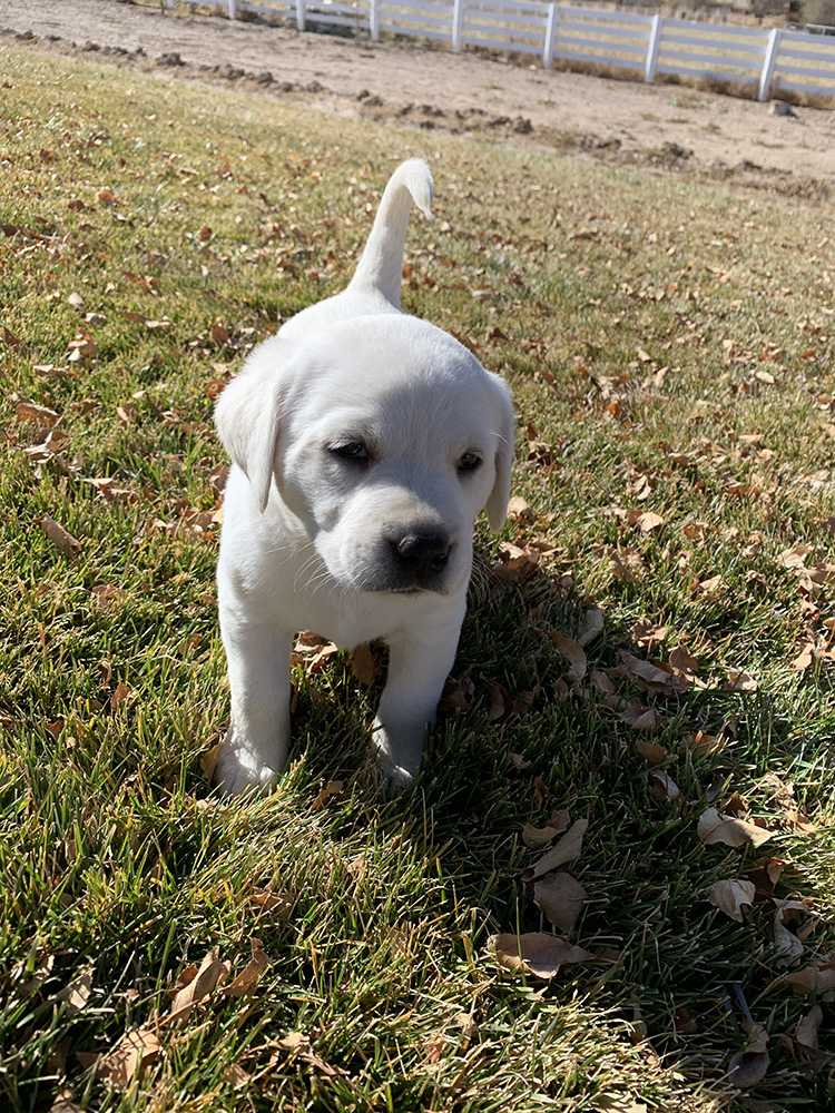 White Lab Puppy playing outside