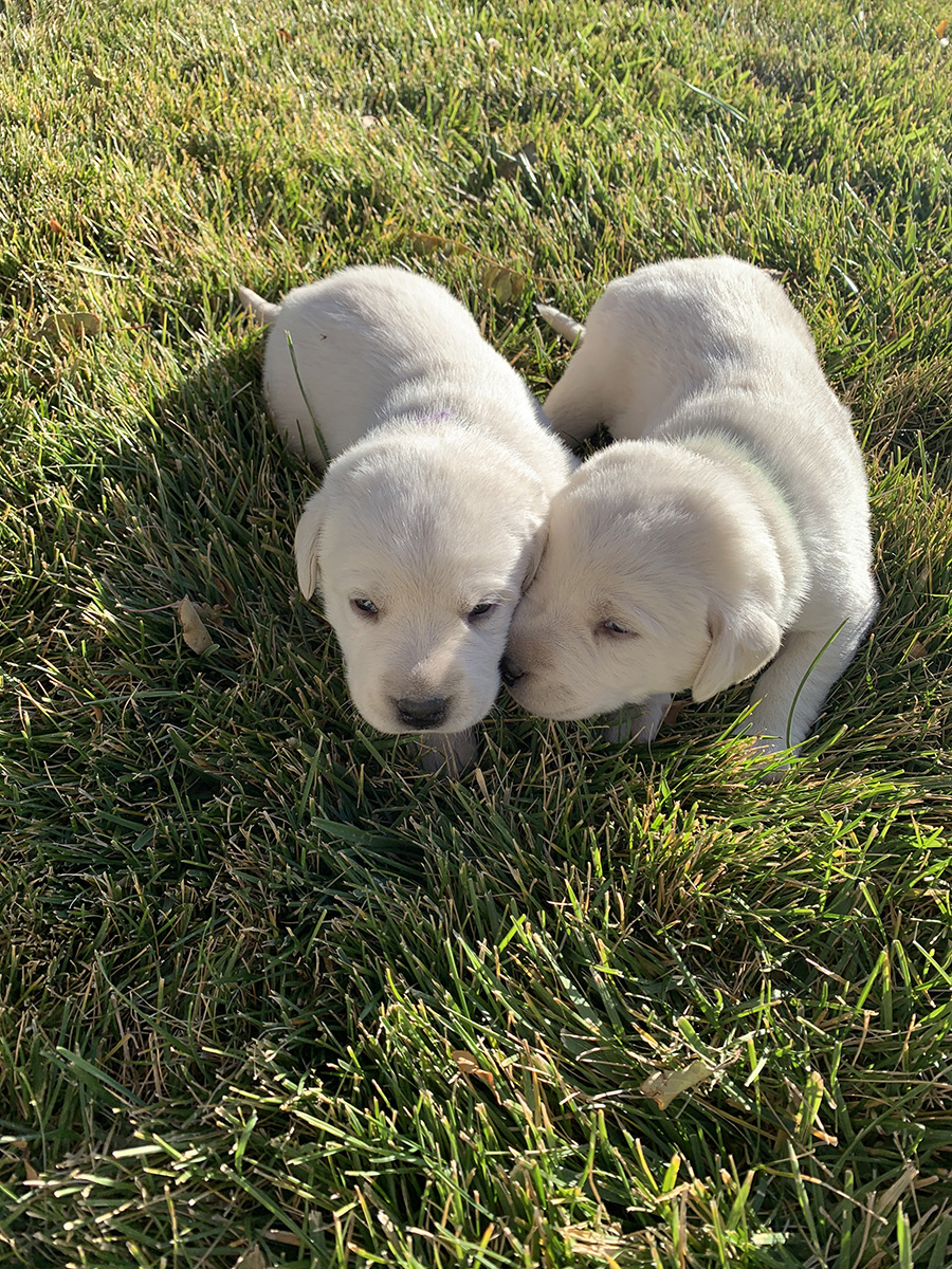 White Lab Twin Puppies
