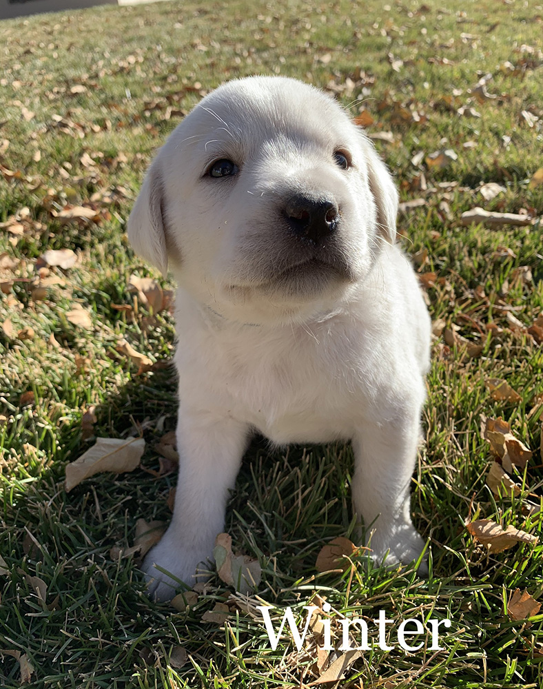 Winter - White Lab Puppy for Sale