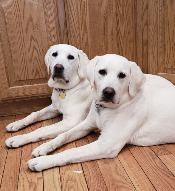Lace and Polar - White Labrador Dogs