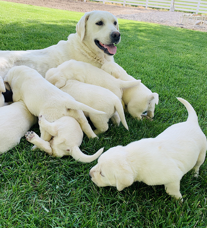 Lace and White Lab Puppies playing