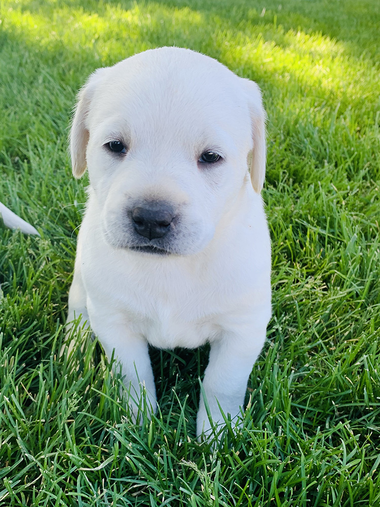White Lab Puppy for Sale 2