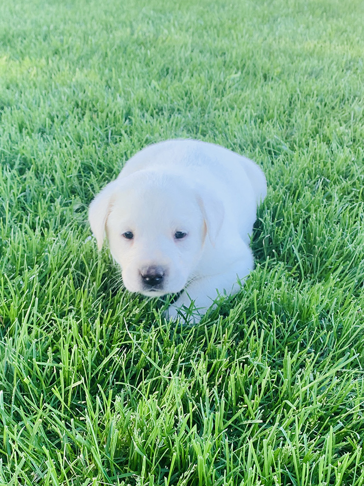 White Lab Puppy for Sale 3