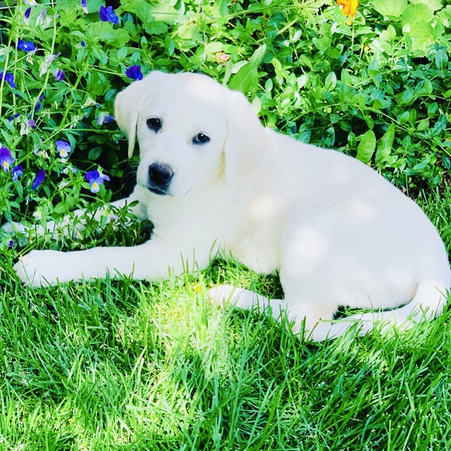 White Labrador Retriever Puppy for Sale in Western Colorado