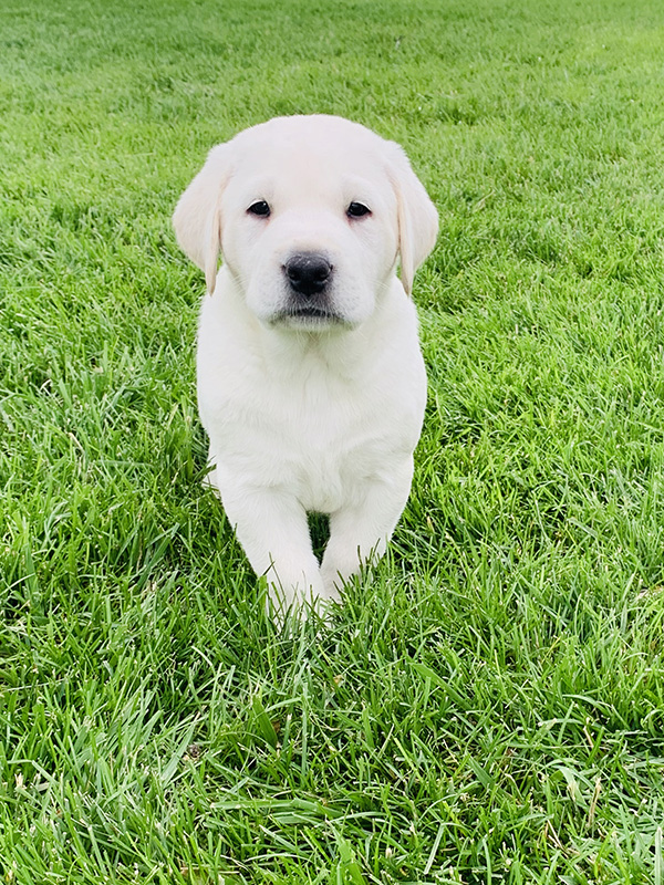 adorable white lab puppy