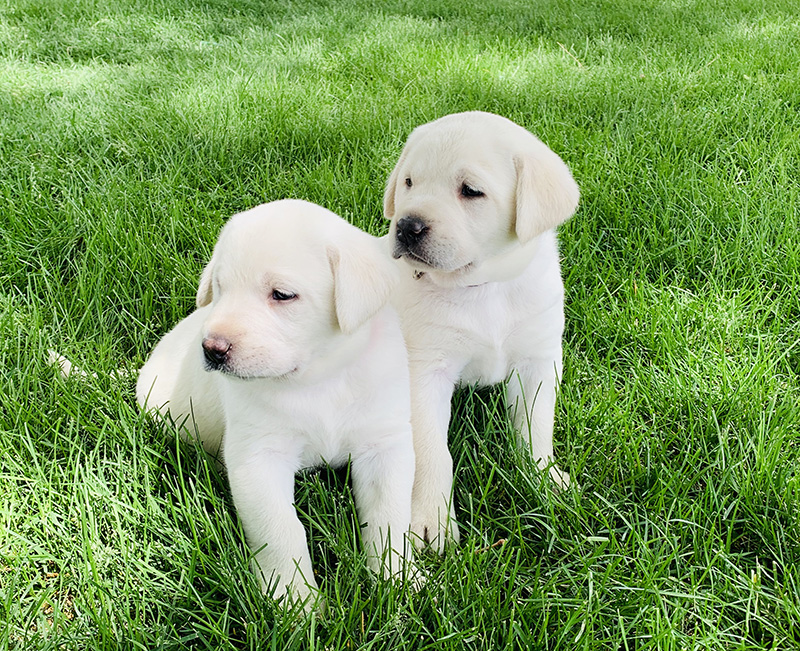 white lab puppy breeder in colorado