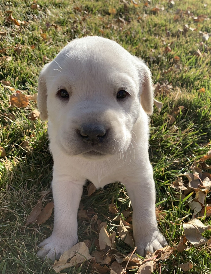 """""""Everest"""" AKC Registered White Lab Stud as a puppy"""